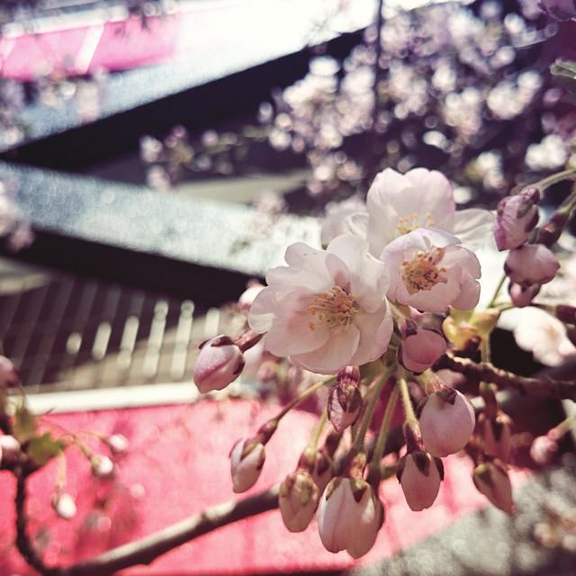 今年の桜3。やっぱり桜が咲くと、春だな...