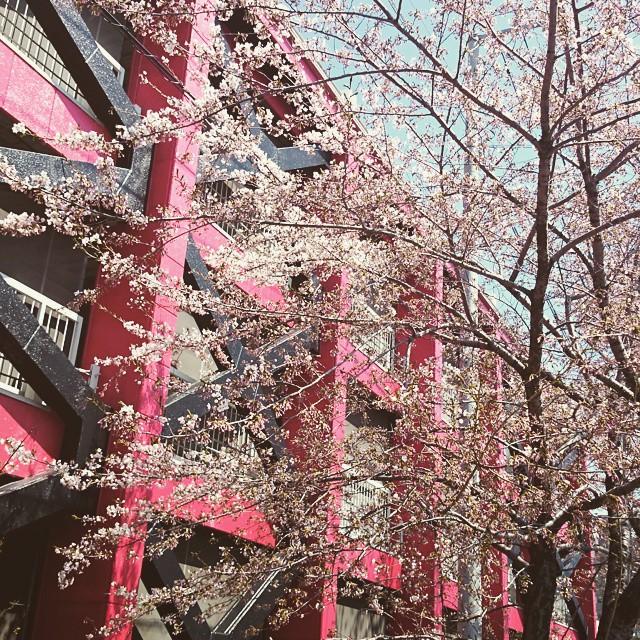 今年の桜2。これはかなり咲いてる方。日...