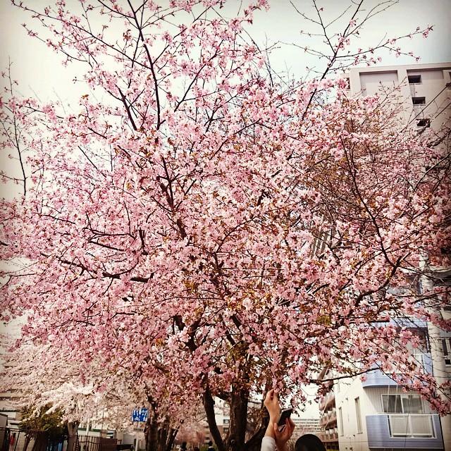 昨日の桜。8分咲きくらい。#桜 #chellyb...