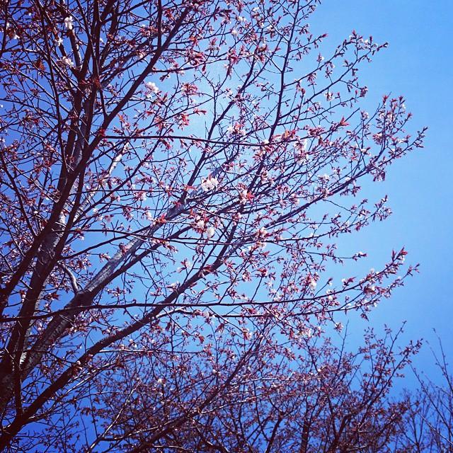 今年の桜。昨日開花宣言だったので、ま...