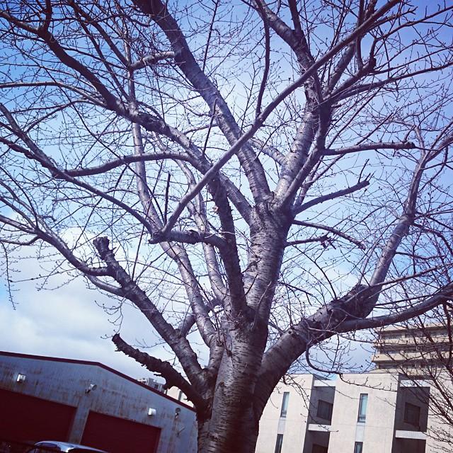 流石にまだ桜のつぼみは小さいね。今日...
