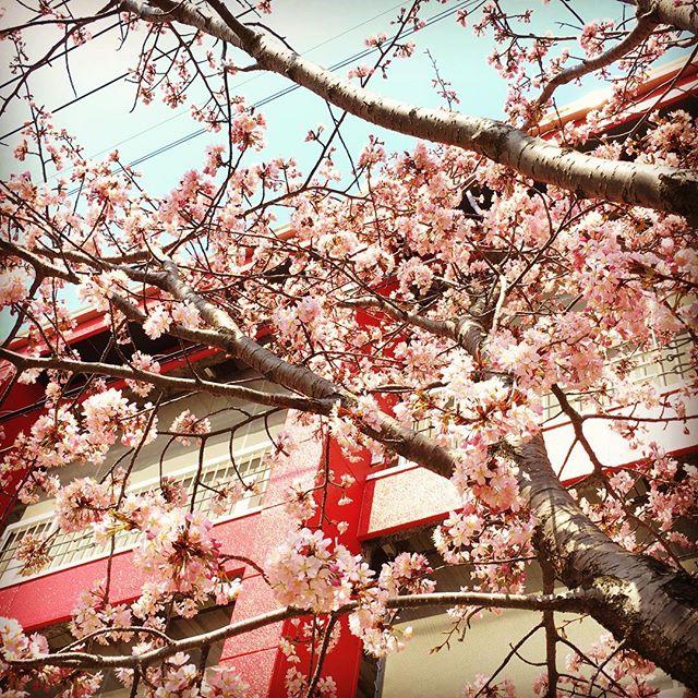 やっと桜が咲いたよ。この木は日当たり...