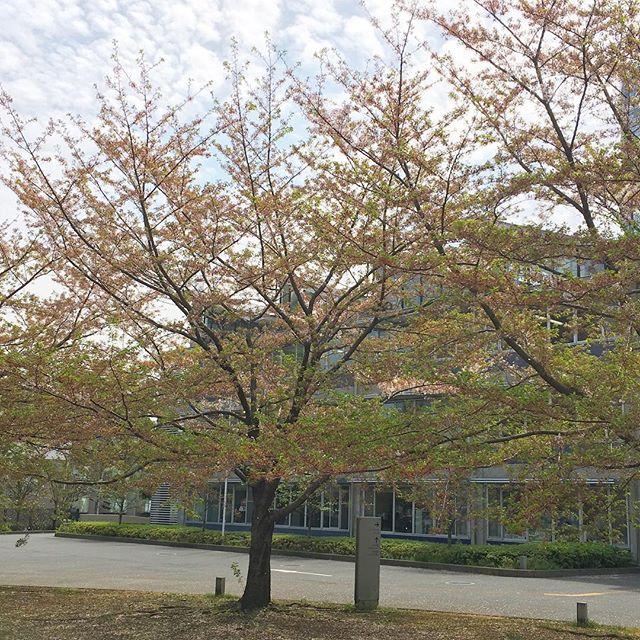 桜がまだ咲いてて...
