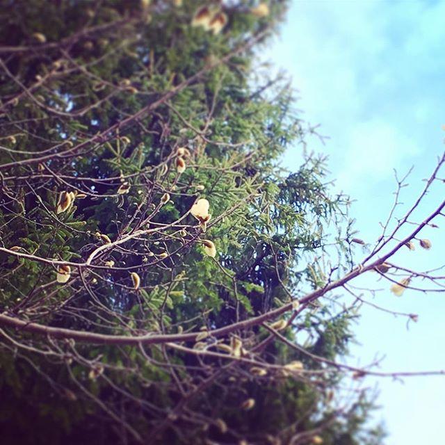 木蓮の蕾が大きく...