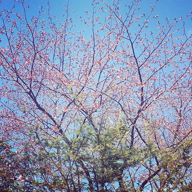 札幌も桜が咲きま...