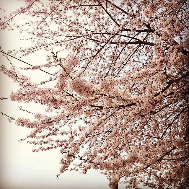 咲き始めたら、あっという間。#桜 #chel...